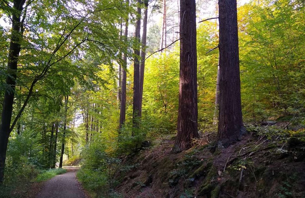 Wald in Rodenbach